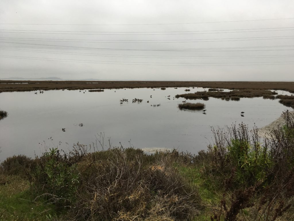 a view of some open water in a marsh on the edge of San Francisco Bay, with some water birds wandering about