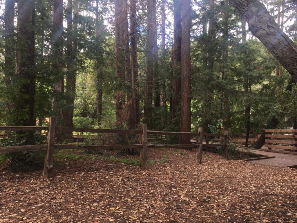 redwood trees in Redwood Grove Preserve in Los Altos