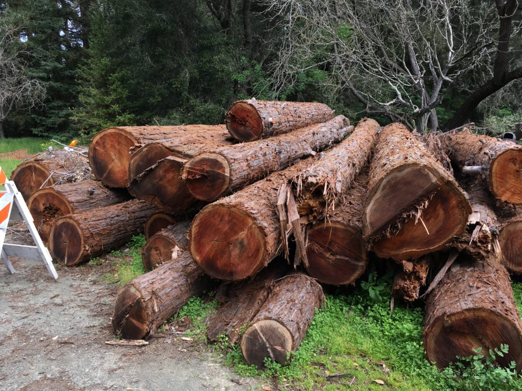 a piles of redwood logs from recently cut-down redwoods in Redwood Grove, Los Altos.