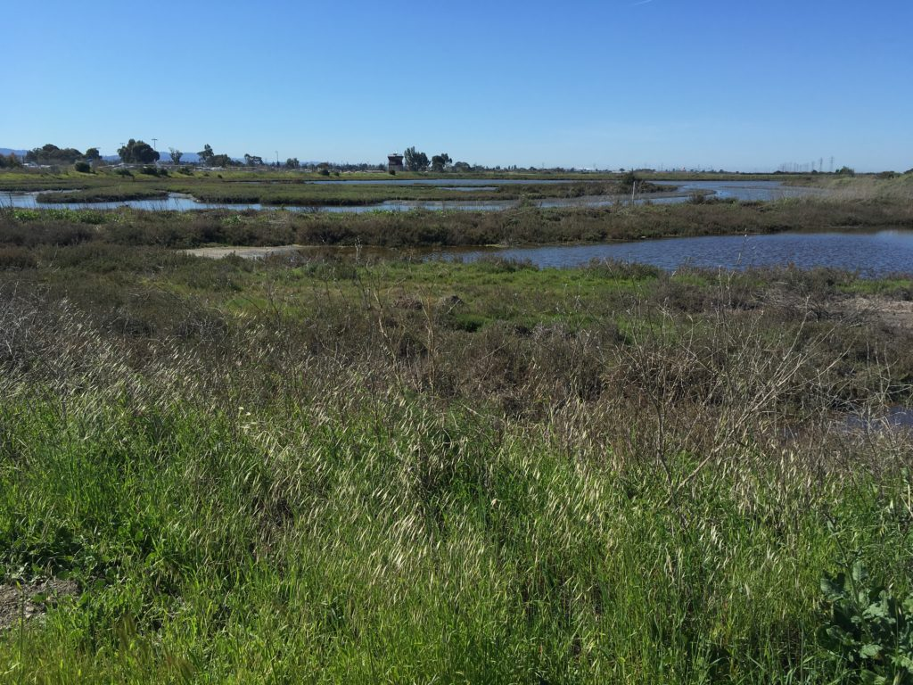 a saltwater marsh that shows pickleweed and some open water