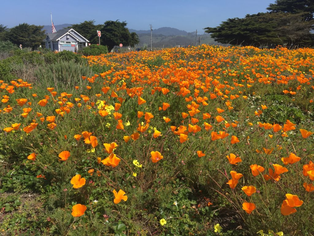 a field of California poppies in bloom