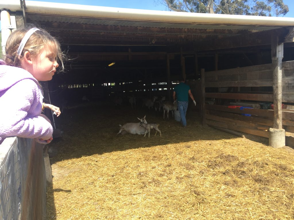 a little girl hanging on a fence watching goats and their newborn kids