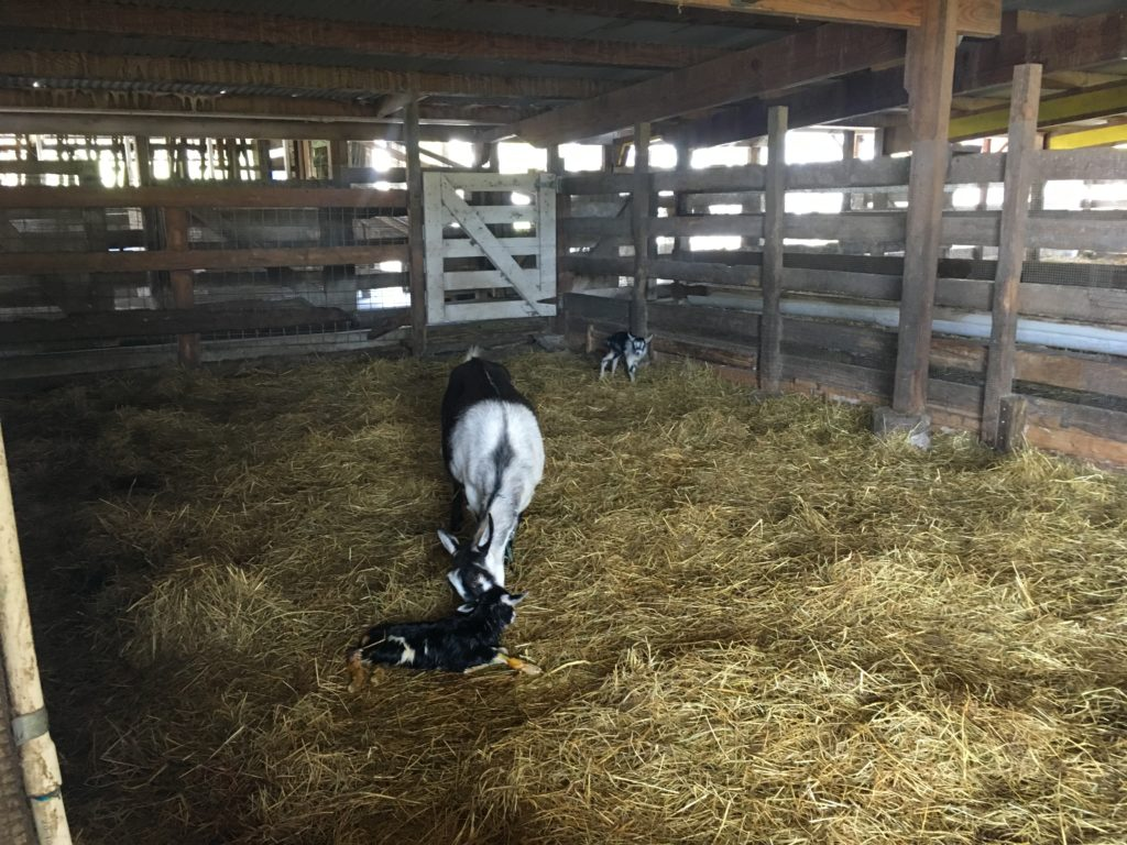 a mother goat and two kids in a barn with straw on the ground.