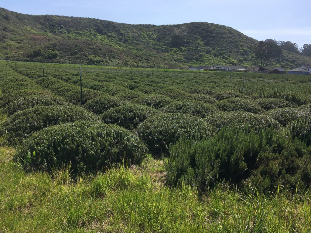 A field of lavender bushes.